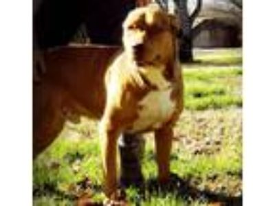 Adopt Otis a Brown/Chocolate - with White Pit Bull Terrier / Boxer / Mixed dog
