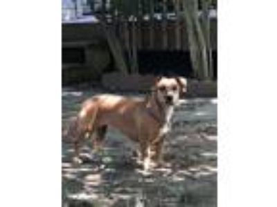 Adopt Nutmeg a Red/Golden/Orange/Chestnut - with White Dachshund / Boxer / Mixed