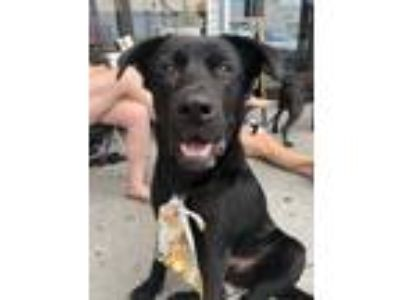 Adopt Knight a Labrador Retriever