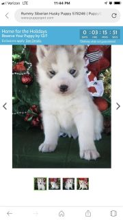 Looking for full blooded Siberian husky or blue eyed Alaskan malamute puppy for Christmas