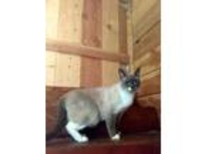 Adopt Lugnut a All Black Siamese / Domestic Shorthair / Mixed cat in Lynnwood