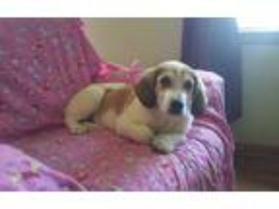 Adopt Josie a Red/Golden/Orange/Chestnut - with White Beagle / Hound (Unknown