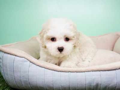 Maltipoo Puppy – Female- QTip ($1,399)