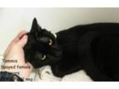 Adopt Tommie a Domestic Short Hair