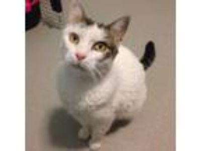 Adopt Lola a White Domestic Shorthair cat in Oyster Bay, NY (19066334)