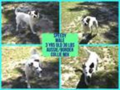 Adopt Speedy a Australian Shepherd, Border Collie