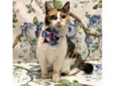 Adopt Sabrina a Calico or Dilute Calico Domestic Shorthair (short coat) cat in