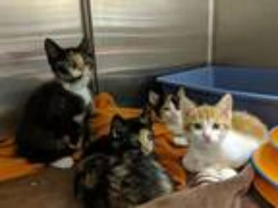 Adopt Cookie-Mocha-Caramel-Buttersco a Orange or Red (Mostly) Domestic Shorthair