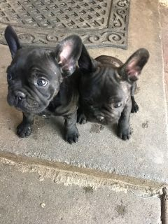 French Bulldog PUPPY FOR SALE ADN-96049 - pure breed French bulldog puppies