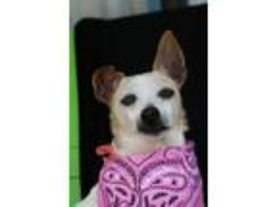 Adopt Gail a Jack Russell Terrier