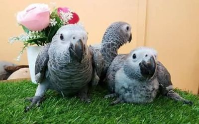 && Hand Reared African Grey Parrots ,Great talkers for rehoming