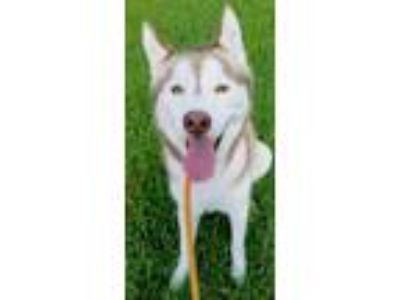 Adopt Dino a White - with Red, Golden, Orange or Chestnut Siberian Husky / Mixed