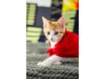 Adopt Thor a Orange or Red (Mostly) Domestic Shorthair / Mixed (short coat) cat