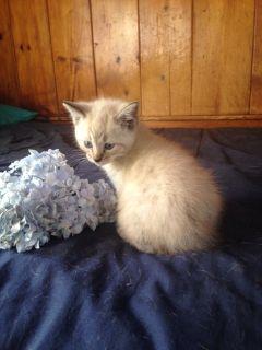 bengal siamese hybrid kittens