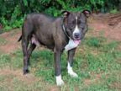 Adopt A314328 a Pit Bull Terrier, Mixed Breed