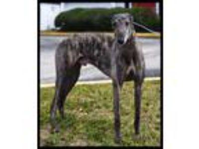 Adopt KB's Naskar a Greyhound