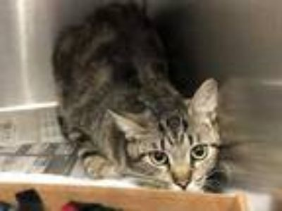 Adopt DIPPY a Brown Tabby Domestic Shorthair / Mixed (short coat) cat in St.