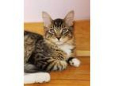 Adopt Jinks a Gray or Blue Domestic Shorthair / Mixed cat in Brimfield
