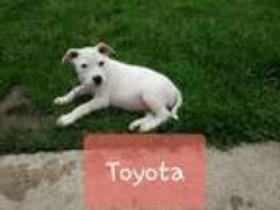 Adopt Toyota a Australian Cattle Dog / Blue Heeler
