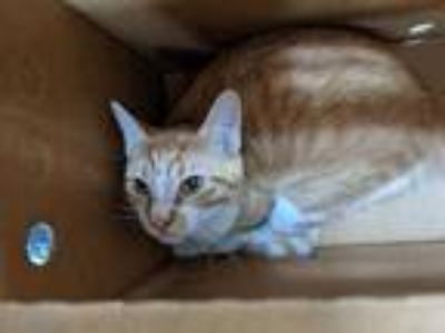 Adopt Manchas a Tan or Fawn Domestic Shorthair / Domestic Shorthair / Mixed cat