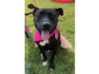 Adopt Nettie a American Pit Bull Terrier / Mixed dog in Germantown