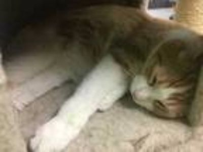 Adopt Devon a Orange or Red Domestic Shorthair / Domestic Shorthair / Mixed cat