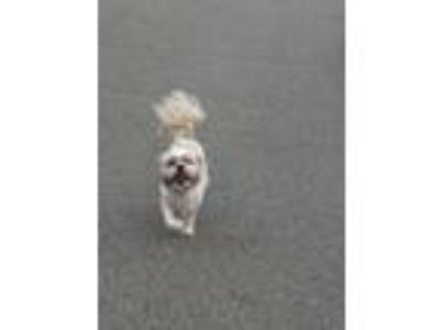 Adopt Niko a White - with Tan, Yellow or Fawn Shih Tzu / Shih Tzu / Mixed dog in