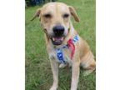 Adopt POPPY a Labrador Retriever
