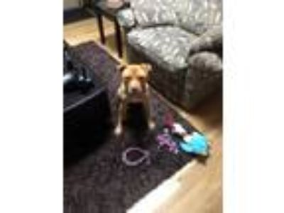 Adopt Penn a Tan/Yellow/Fawn Pit Bull Terrier / Mixed dog in Yamhill