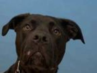 Adopt Luna a Black American Pit Bull Terrier / Great Dane / Mixed dog in
