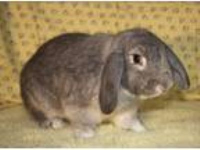 Adopt Hunter a Chinchilla Mini Lop / Mixed (short coat) rabbit in Waynesboro