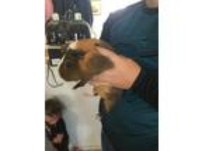 Adopt Carmel a Brown or Chocolate Guinea Pig (short coat) small animal in
