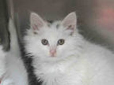 Adopt a White (Mostly) Domestic Mediumhair / Mixed (medium coat) cat in San