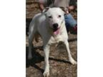 Adopt Cotton a White - with Black Australian Cattle Dog / Mixed dog in Nanuet