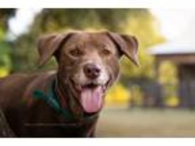 Adopt Cisco a Brown/Chocolate Labrador Retriever / Mixed dog in Coppell