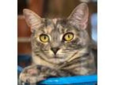 Adopt Louise a Gray or Blue Calico / Mixed (short coat) cat in Fishkill