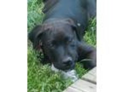 Adopt Courtesy post. Puppies a Black Australian Shepherd / Labrador Retriever /