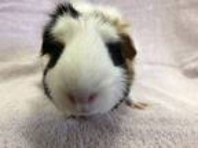 Adopt Dancing Sun a White Guinea Pig small animal in Imperial Beach