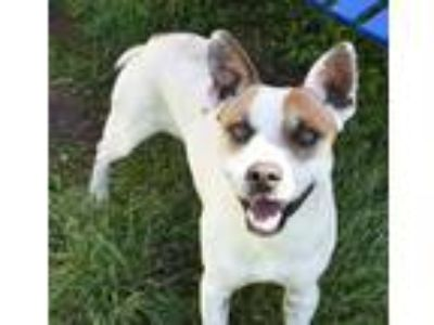 Adopt Martin a Cattle Dog, Beagle