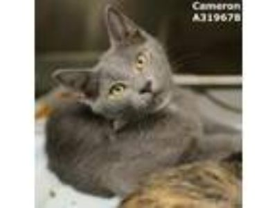 Adopt CAMERON a Calico or Dilute Calico Domestic Shorthair / Mixed (short coat)