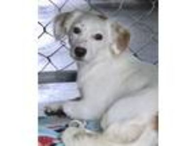 Adopt Princess a White - with Tan, Yellow or Fawn Cocker Spaniel / Mixed dog in