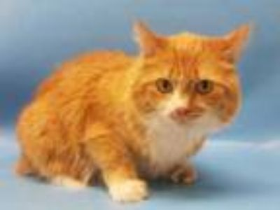 Adopt Sophie a Orange or Red Domestic Mediumhair / Domestic Shorthair / Mixed