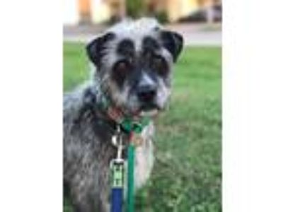 Adopt Brier a Schnauzer (Standard) / Irish Wolfhound / Mixed dog in New Orleans