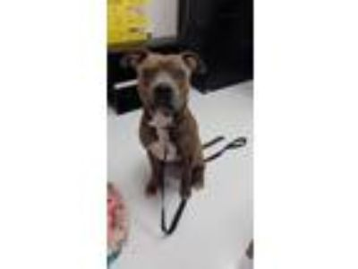 Adopt Saber a Brindle - with White American Pit Bull Terrier / Mixed dog in Mt.