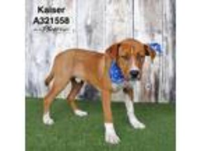 Adopt KAISER a Brown/Chocolate - with Black Labrador Retriever / Mixed dog in