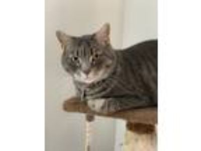 Adopt Ruby a Gray, Blue or Silver Tabby Domestic Shorthair cat in Butler