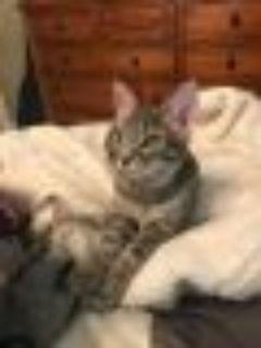 Kato Tabby Cat