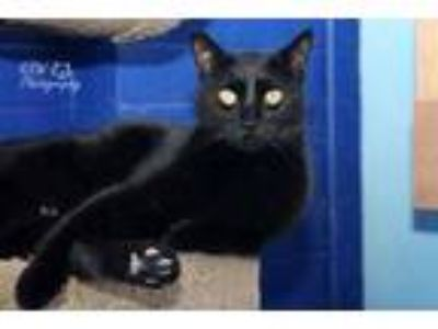 Adopt Little Prince a All Black Domestic Shorthair / Domestic Shorthair / Mixed