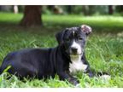 Adopt Pupper #1-Boy a Black - with White Labrador Retriever / Mixed dog in Olive