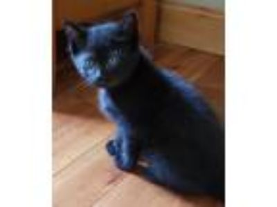 Adopt Kittens Haydn & Rhonda s a Domestic Shorthair / Mixed (short coat) cat